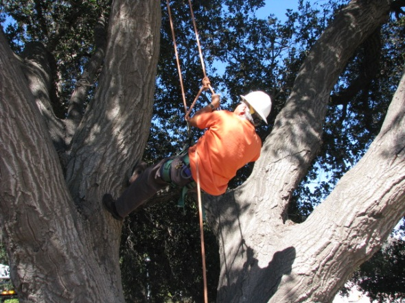 tree trimmer in a tree