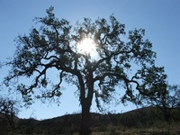 Oak Tree Photo